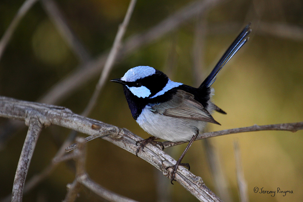 Superb Fairy Wren JRingma