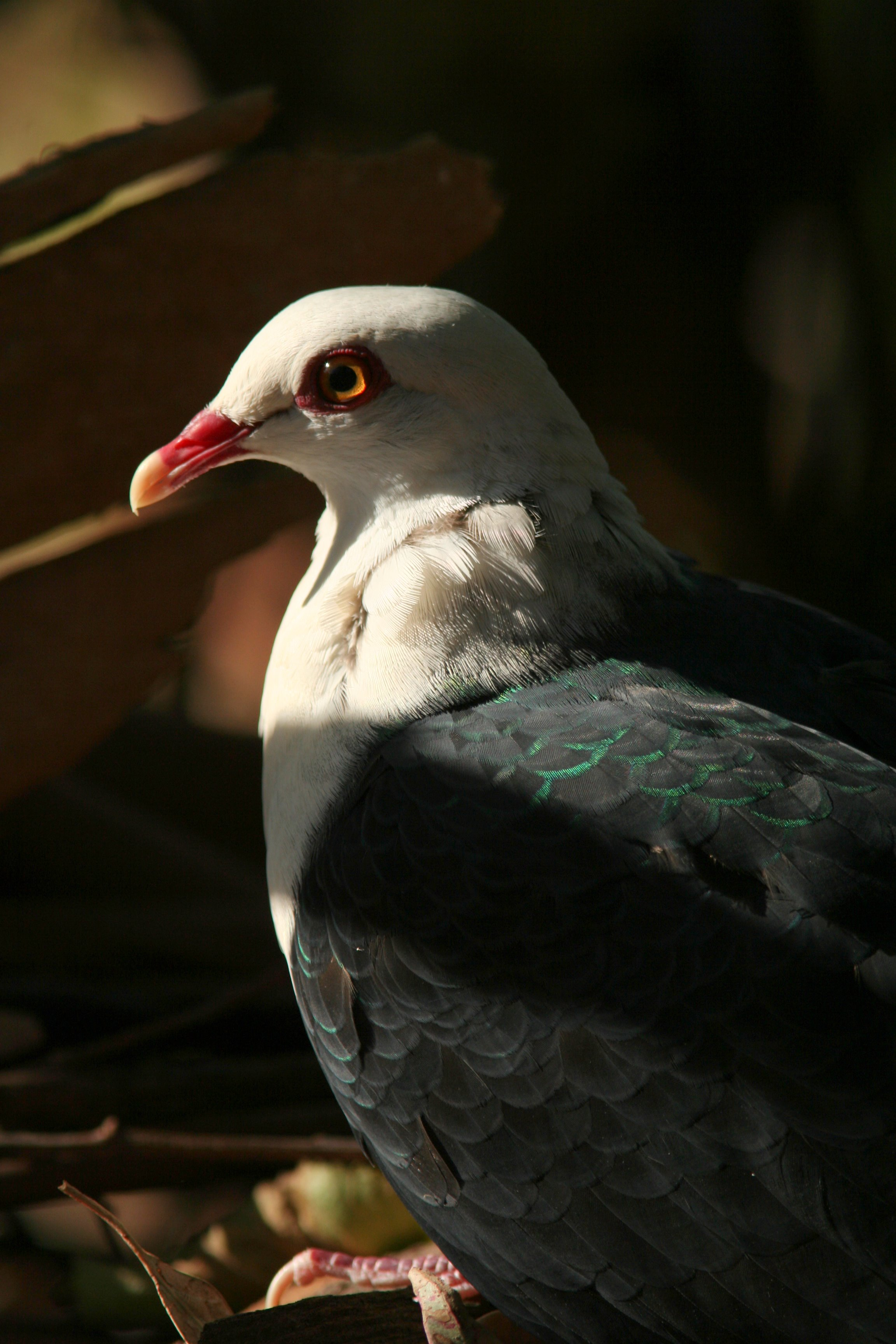 White headed Pigeon GlenFergus Wikipedia CC