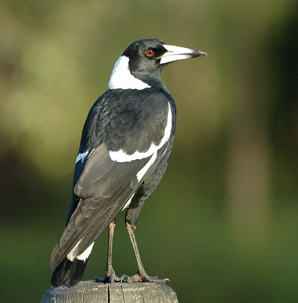 magpie qld wikip